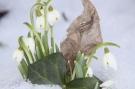 Schneeglöckchen als Frühlingsboten